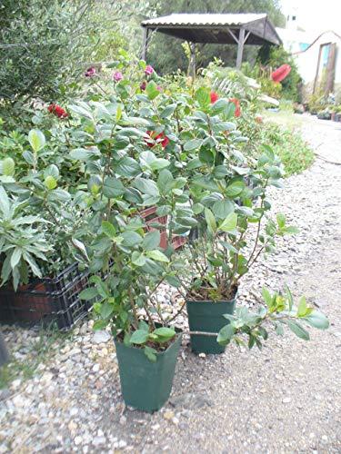 2x Aronia Pflanze, Apfelbeere, winterharte Gesundheitspflanze Vitamine uvm.