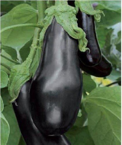 Il vous suffit de graines de l?gumes Bio???Aubergine???Black Beauty???30?graines???Economy Lot