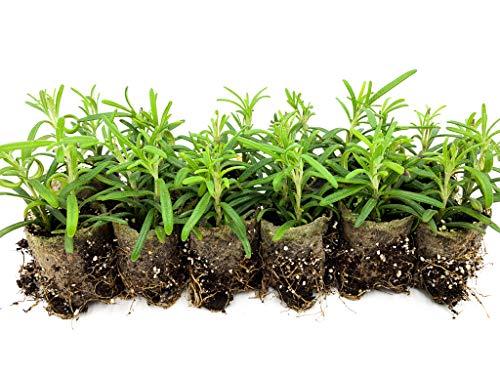 Rosmarin Jungpflanzen | kleine Rosmarin Pflanzen | echter Rosmarin | Aromatisch | Winterhart | Rosmarinus officinalis | ⌀3,5cm Wurzelballen (12)