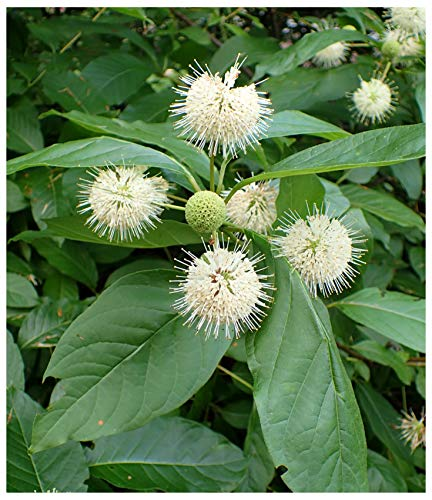 Button Bush (Cephalanthus occidentalis), Seed Packet, True Native Seed