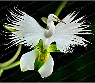 white dove orchids