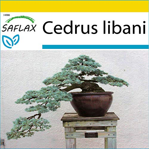 SAFLAX - Kit de culture - Cèdre du Liban - 20 graines - Cedrus libani