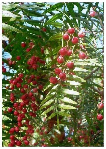 TROPICA - Faux-poivrier odorant (Schinus molle var. areia) - 100 graines- Méditerranée