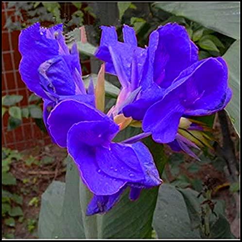 Canna Bulb,Magische Zierpflanze,Große Blume,Heimatboden Kulturpflanzen,Umwelt verschönern,Luft reinigen,Pflanzen Sie jetzt-1 Zwiebeln