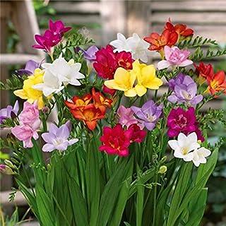 100pcs/bag Freesia Garden,Mixed Color,Freesia Bulbs Flower Bonsai Flower Bulbs Flowers Orchid Freesia Rhizome Bulbous Flowers