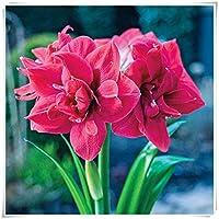 販売のためのアマリリス球根*園芸植物,花壇,土壌培養植物,庭の植栽,園芸植物,ヒスイのような花のような大規模な鉢植えの植物,周囲16-22cm-2 球根,2