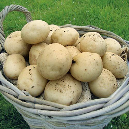 Potato Pentland Javelin'. 20 x Seed Potatoes. First Early. Salad Potato.