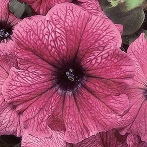 40 graines Graines Petunia Folie Plum Flower (Petunia x hybrida)