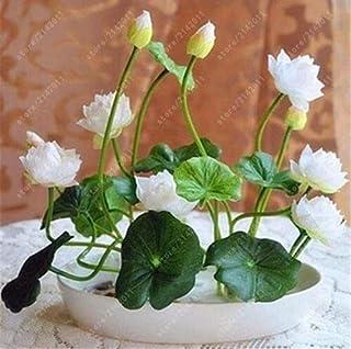 semillas de loto, semillas de loto lirio de agua tazón rara semillas de plantas de flor acuática para la siembra jardín de su casa - 5 piezas
