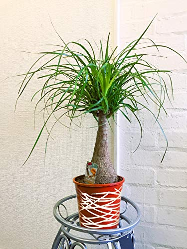Large Traditional Evergreen House Plants in Pot with Metallic Interweave Line Decoration - Ponytail Palm, Elephant's Foot