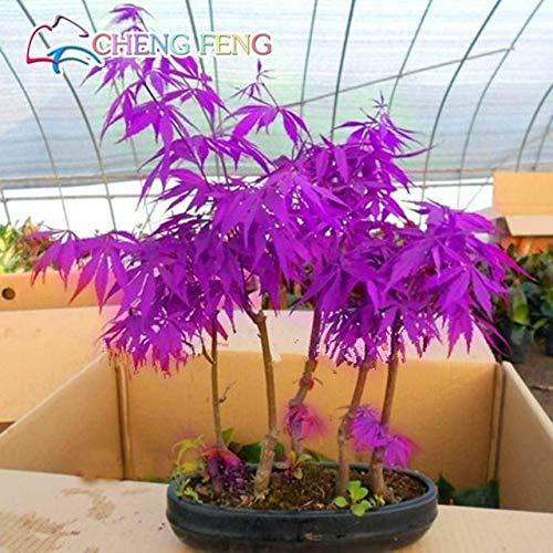 Pinkdose® 20 Stcke Lila Ahorn Bonsai Selten In Der Welt Kanada ist Eine Schne Lila Ahorn Bonsai saatn B ume Fr Hausgarten: Cle