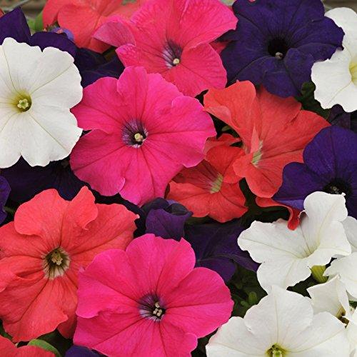 Outsidepride Petunia Hybrida Flower Seed Mix - 5000 Seeds