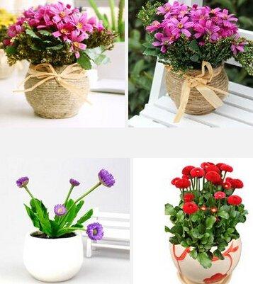 Les graines de marguerite de vente Big Hot vente (couleurs mixtes) fleurs bonsaï graines
