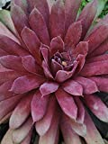 Perennial Farm Marketplace Sempervivum 'Royal Ruby' (Hens & Chicks) Perennial, 1 Quart, Reddish Gray Foliage