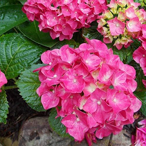 Hydrangea Macrophylla 'Glowing Embers'- Hortensia 'Glowing Embers' 25-30 cm en conteneur