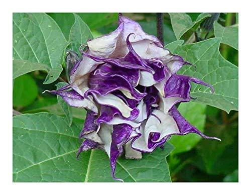 Datura metel purple - Engelstrompete - Stechapfel - 10 Samen