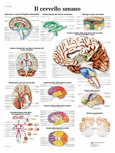 3B Scientific VR4615UU il Cervello Umano