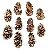 Capcouriers Imperfect Pine Cones (Decorative Pine Cones) - 10 Pine Cones - Real Pine Cones for Crafting