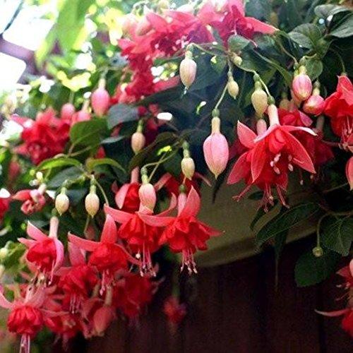 Qulista Samenhaus - 20/30/50pcs Riesen-Fuchsie 'Bicentennial' Blumensamen exotische-samen winterhart mehrjährig auf Balkon, Terrasse und im Garten