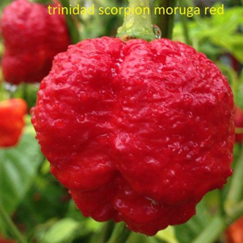 SAMEN TRINIDAD SCORPION MORUGA RED-TRINIDAD SCORPION GREEN
