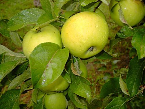 Müllers Grüner Garten Shop Seestermüher Zitronenapfel sehr großer aromatisch süßsäuerlicher Apfel 100-120 cm im 5 Liter Topf