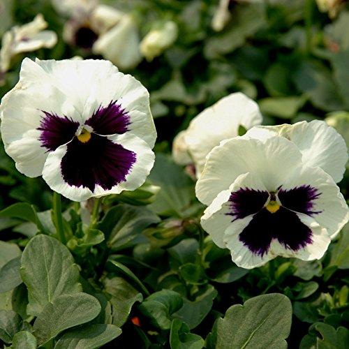 Pensée Silverbride Graines - Viola x wittrockiana