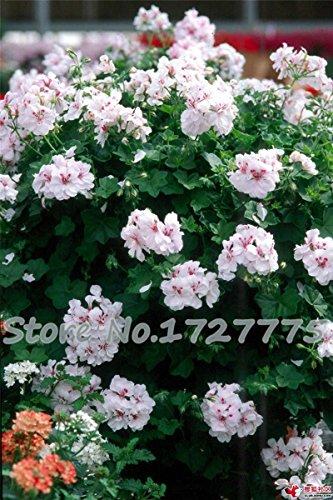 20 Pcs * Plantes Bag Jardin Géranium Graines Fleur Pelargonium Décoration extérieure SeedsAndPlants Flores Seed pot Bonsai Fleurs bon marché