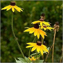 Schwarzäugige Susan in Blume