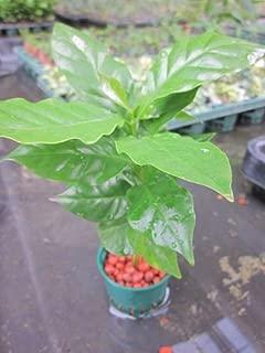 水耕栽培 苗 コーヒーの木(ミドル)