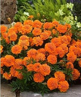 Beautytalk-Garten Französische Ringelblume Samen Bodendecker Zwerg-Ringelblume Blumensamen Bonsai Samen winterhart mehrjährig für Balkon/Terrasse/Garten
