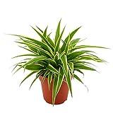 Chlorophytum comosum OCEAN | Plante-araignée | Plante d'intérieur purifiante | Hauteur 20-25cm | Pot Ø 12cm