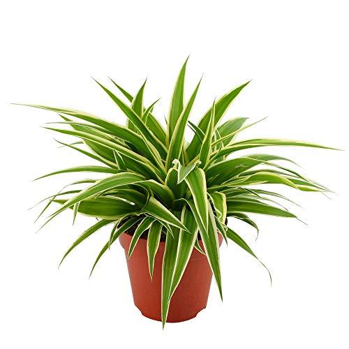 Chlorophytum OCEAN | Pianta del ragno | Erba di zebra | Pianta per interni | Altezza 20-25cm | Vaso Ø 12 cm