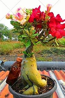 Seed - NOT Plant - Best Quality - Bonsai - Pcs Exotic Rare Colors Petals Desert Rose True Beautiful Bonsai Potted Flowers Balcony Adenium Obesum Plants for Home Garden - by SeedWorld - 1 PCs