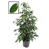 Birkenfeige - Ficus 'Danielle' 100 - 120 cm Zimmerpflanze