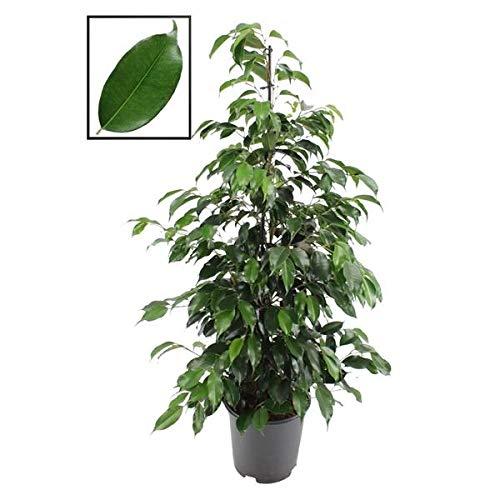 Toller Ficus mit riesigen Blättern für lichtarme Räume