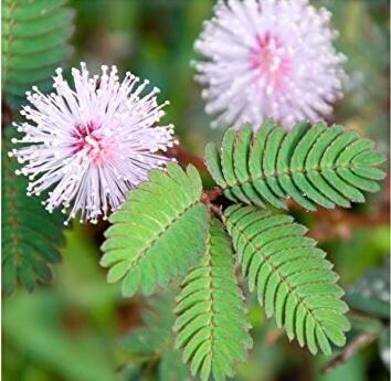 Les ventes chaudes! 100pcs Graines Mimosa Pudica Linn, feuillage Mimosa Pudica Sensible Bonsai plante jardin Livraison gratuite 3