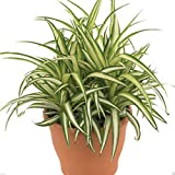 Plants Point Indoor Live Plant - Chlorophytum Spider Plant