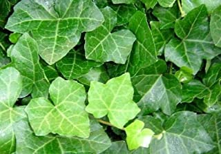 48 Live Plants - Hedera Helix Thorndale English Ivy Hardy Groundcover 2.5