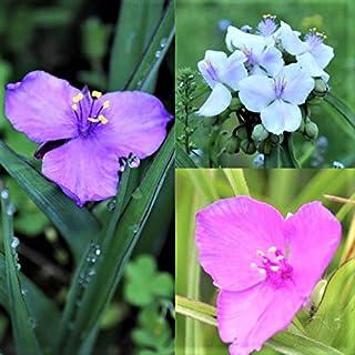 山野草:ムラサキツユクサ 3色各2ポット6ポットセット【紫桜館山の花屋】
