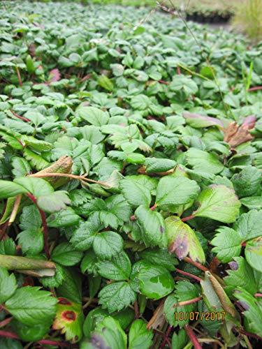 Fragaria chiloensis Chaval - Teppich-Erdbeere Chaval