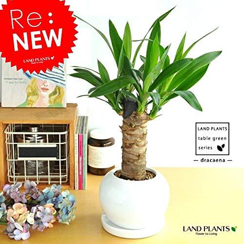 LAND PLANTS 観葉植物 青年の樹 ドラセナ(ユッカ) 白色 丸型 陶器鉢