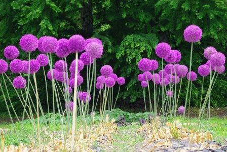 20 Giant Allium Globemaster Allium Giganteum Flower Seeds~Vegetable Plant