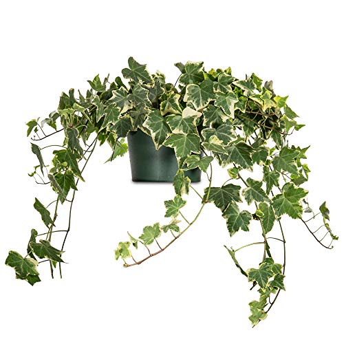 Perfect Plants Variegated English Ivy   Hedera Helix Variegata'   Easy Care Houseplant   Perfect for Bright Light Conditions, 6 in Grower's Pot,   Air Purifying