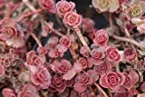 50 RED DRAGONS BLOOD SEDUM Stonecrop Sedum Spurium Flower Seeds by...