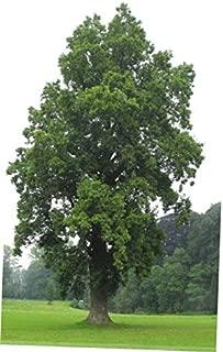 LZAA 1 Pcs Small Tree Seedling Tulip Poplar - RK298