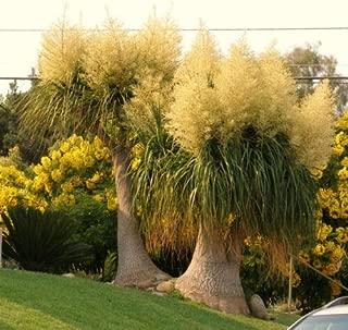 20 Seeds Beaucarnea Recurvata, Rare Elephant Foot Ponytail Palm Caudex Bonsai