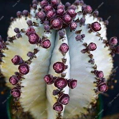 100pcs / bag semillas de cactus Es cierto que los mini cactus, higo chumbo, semillas de flor de Bonsai, planta en maceta para jardín 16