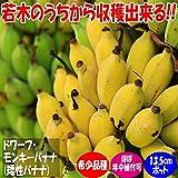 「ドワーフ・モンキーバナナの苗木(育てやすさが人気の矮性バナナ) 13.5cmポット大苗 1個売り」若木のうちから収穫できるおいしい矮性バナナ品種!!薄皮で柔らかく甘い小型バナナをご自宅で収穫できます。鉢植えでも十分楽しめます!とても実つきの良い品種で、葉数が40~50枚に成長すると開花が始まります。約80~100cmで実が成る優れもの!!自家結実性で苗1本で収穫可能です。自社農場から新鮮出荷!!【ポット苗なのでほぼ年中植付け可能!!即出荷!!プライム送料込み価格!!】