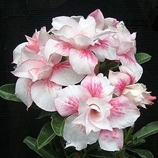 Rosa claro única doble Flores Red Stripe plantas de balcón en maceta Rosa flores del desierto Semillas Adenium obesum Semillas 1PCS