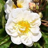 """Ramblerrose """" Lykkefund' (Premium) - rahmweiß..."""